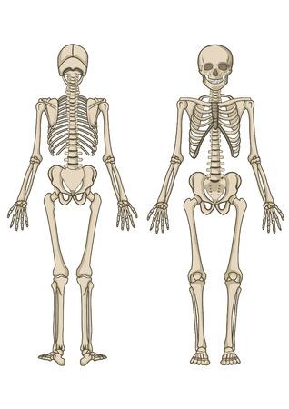 scheletro umano: Scheletro umano, osso, anatomia, biologia e cranio  Vettoriali