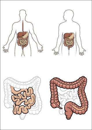 digestive system: Diargram, mostrando el sistema digestivo humano  Vectores