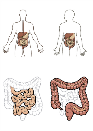 Diargram showing the human digestive system Vector