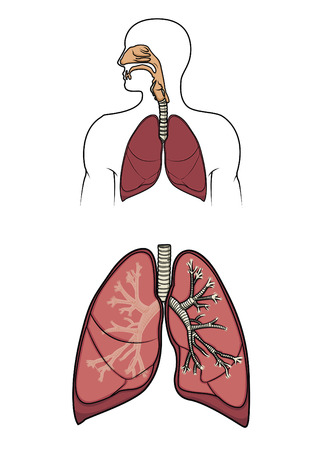 ventricle: Diagrama de un sistema de respitory humano  Vectores