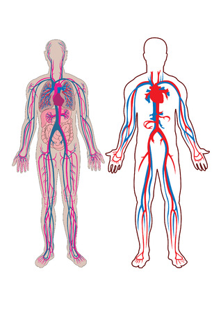 Diagram of the human vein and anatomy Vector