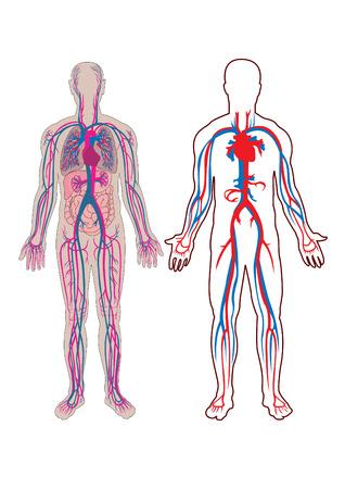 ventricle: Diagrama de la vena humana y anatom�a Vectores