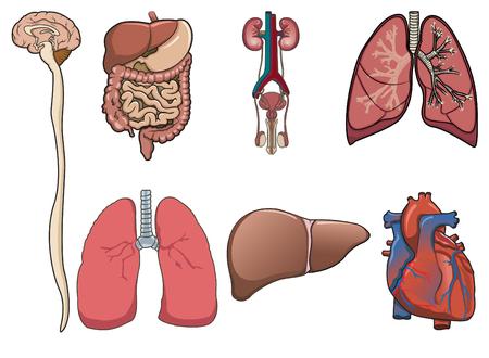 Órganos humanos consisten en cerebro, pulmones, corazón, sistema digestivo y riñón Ilustración de vector