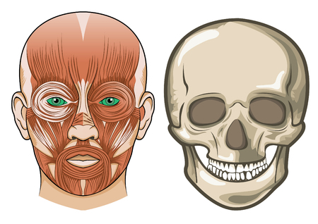 Human facial anatomy and skull Vector