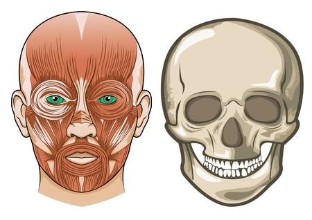 leven en dood: Menselijk gezichts anatomie en schedel