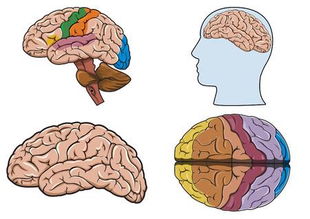 organos internos: Diagrama de un cerebro humano Vectores