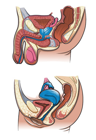 Diagram of a cross section of the human reproductive system  Vector