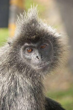 bukit: Portrait of a sad monkey at Bukit Melawati
