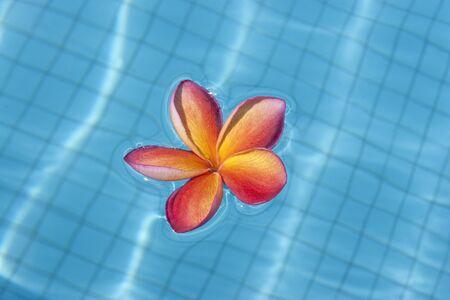 Tropical frangipani flower floating in blue pool photo