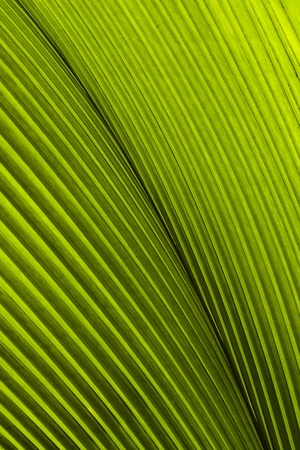Close up of Tropical Green Leave Texture use as a Background Stock Photo - 9131555
