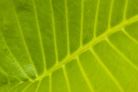 Close up Structure of Green Leaf use a a Background Stock Photo - 9131554