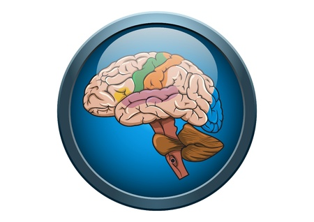 Anatomy of Human Brain Illustration Medical Button Concept Stock Vector - 9540028