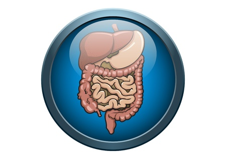 digestion: Anatomy of Stomach Human Organ Illustration Medical Button Concept