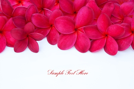 Red Plumeria Frangipani Flower for Spa and Wellness Concept with Space for Text