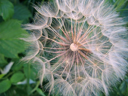 wind down: Close-up of giant dandelion