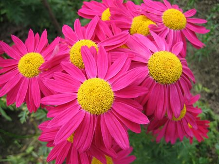 sepals: pyrethrum flowers