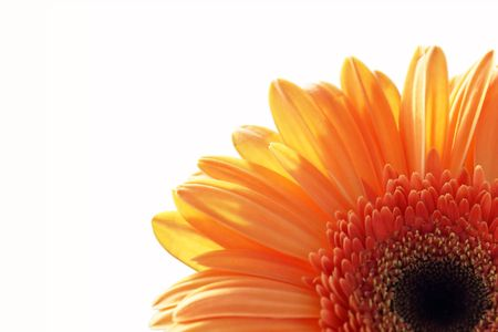 sepals: gerber daisy isolated on the white background