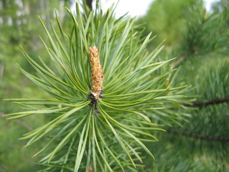 Coniferous tree branch with cone sprout Stock Photo - 2421999