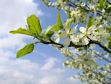 branch of a blossoming tree photo