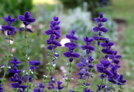 insist: Salvia plant in the garden (Salvia viridis)
