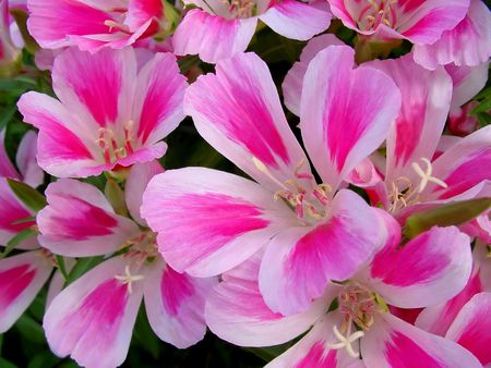 ゴデチア花のクローズ アップ写真