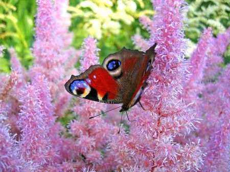 Peacock butterfly (Inachis io) photo