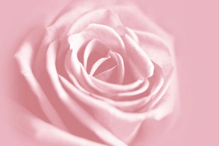gentle rose background Stock Photo - 2617029