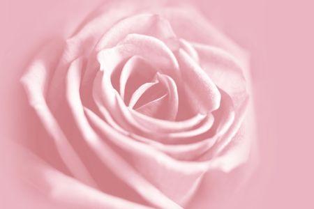 gentle rose background Stock Photo - 2617029