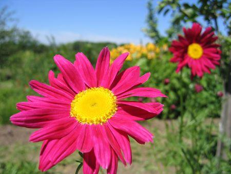 Pyrethrum flower photo