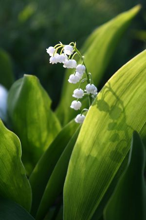 Lily of the valley Stock Photo - 2631277