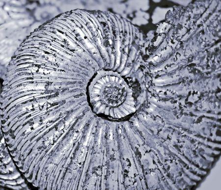 fossilized ammonite  photo