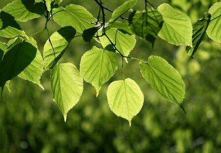 fresh green leaves glowing in sunlight