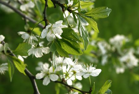 Blossoming tree with white flowers  photo