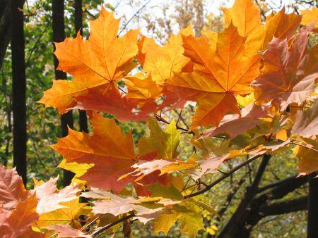 Beautiful autumn leaves of maple photo