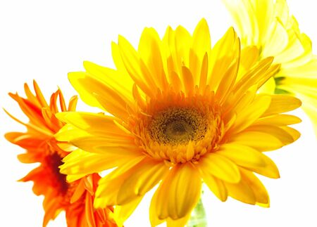 dainty: gerber daisy flowers isolated on white