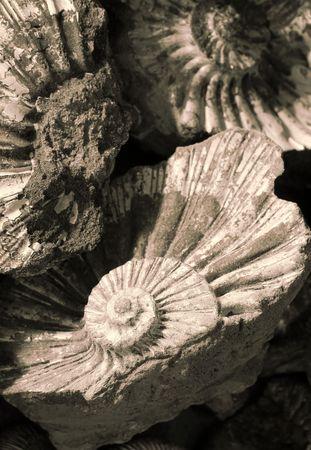 fossilized: shell background (fossilized ammonites)