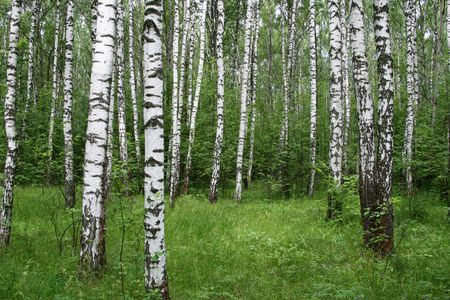 birch trees in a summer forest