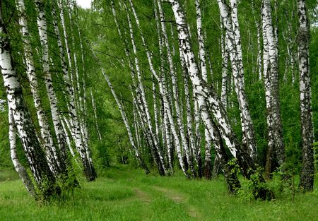 birch bark: birch wood
