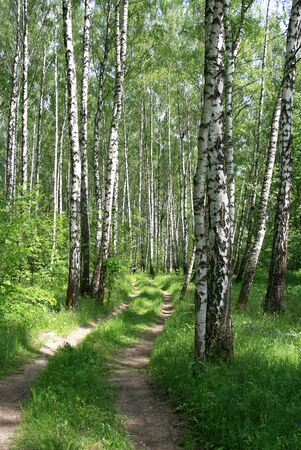greenwood: road in a birch wood
