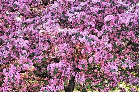 Blossoming tree with pink beautiful flowers  photo