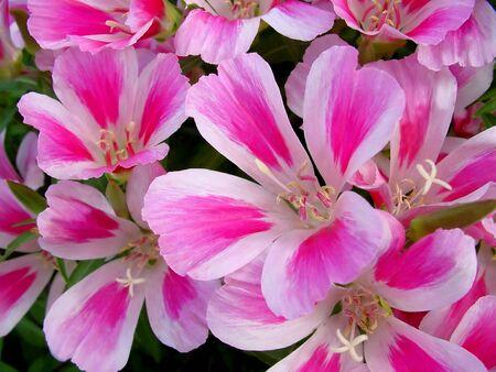 dainty: Godetia flowers background