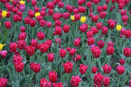 beautiful tulips background photo