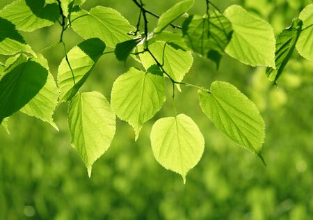 Fresh green spring leaves glowing in sunlight photo