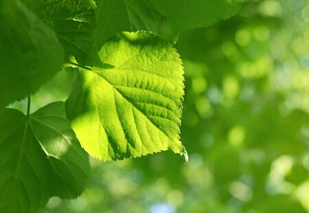 Fresh green spring leave glowing in sunlight Stock Photo