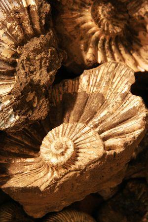 shell background (fossilized ammonites)