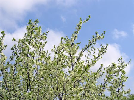Blossoming tree with white flowers on blue sky background photo