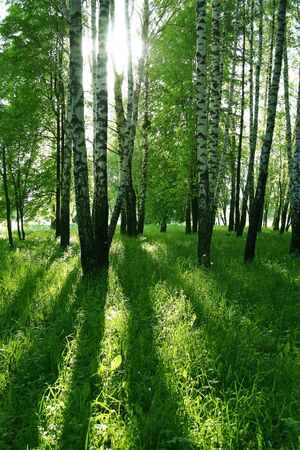 birch trees with long shadows in sammer forest photo