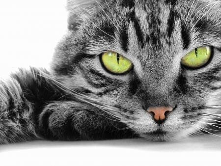 green-eyed cat                                photo