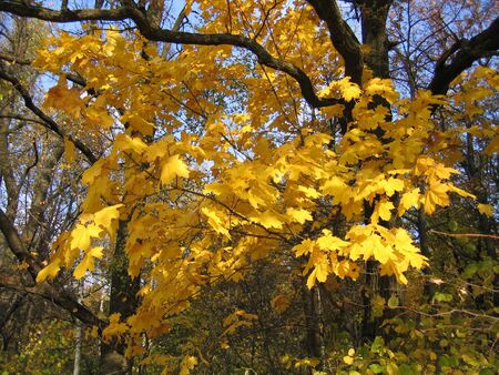 autumn leaves of maple tree  photo