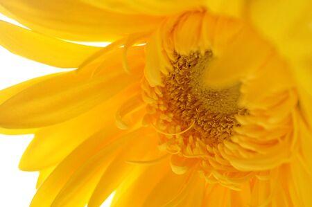 sepals: macro of gerber daisy flower